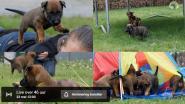 Volg Mechelse herders bij De Sol Casa van geboorte tot baan bij de politie