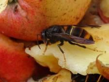 Nest van Aziatische hoornaar gevonden bij Ritthem