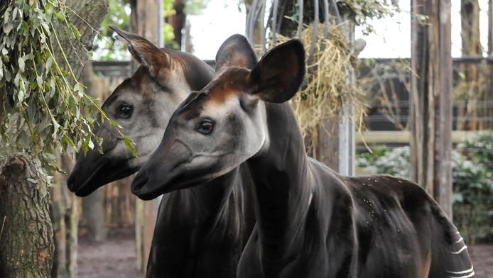 Okapi Kamina en haar jong M'buti in hun nieuwe verblijf in Diergaarde Blijdorp.