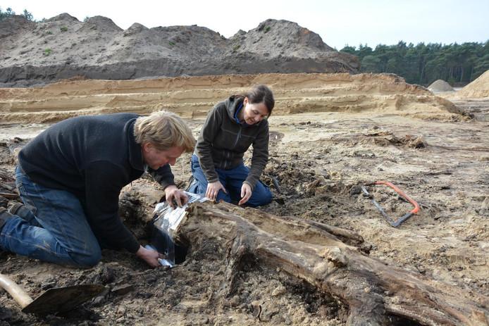 Onderzoekers bekijken een 13.000 jaar oude boom.