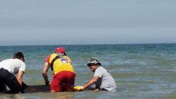 """Oud-brandweerman redt dolfijn: """"Ik haastte me weg van mijn barbecue en dook het water in"""""""