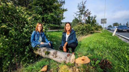 Agentschap Wegen en Verkeer wil per ongeluk gerooide beuken in Torhout compenseren