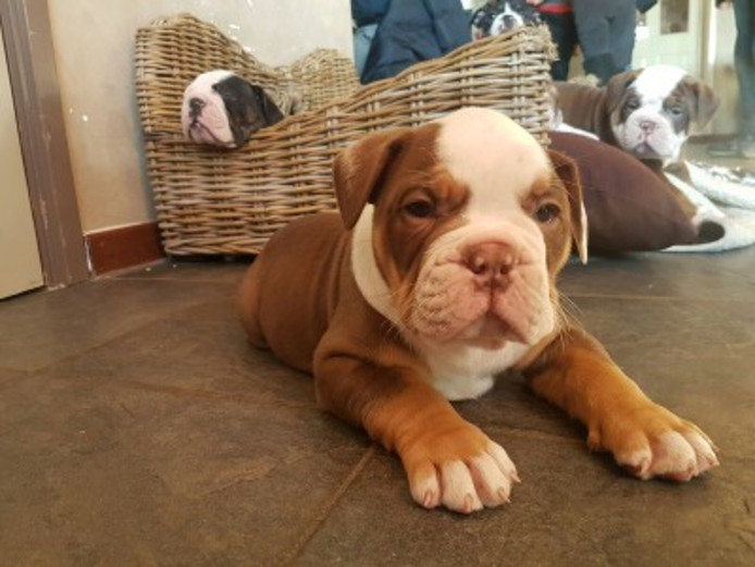 De nog vermiste Old English Bulldog pup.