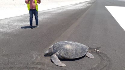 Bedreigde zeeschildpad moet eitjes achterlaten op landingsbaan die gebouwd werd over broedplaats