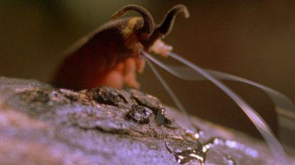 Iedereen bezorgd om de dieren in Australië, maar denkt iemand aan de fluweelworm?