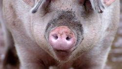 Helderziend varken voorspelt EK-uitslagen
