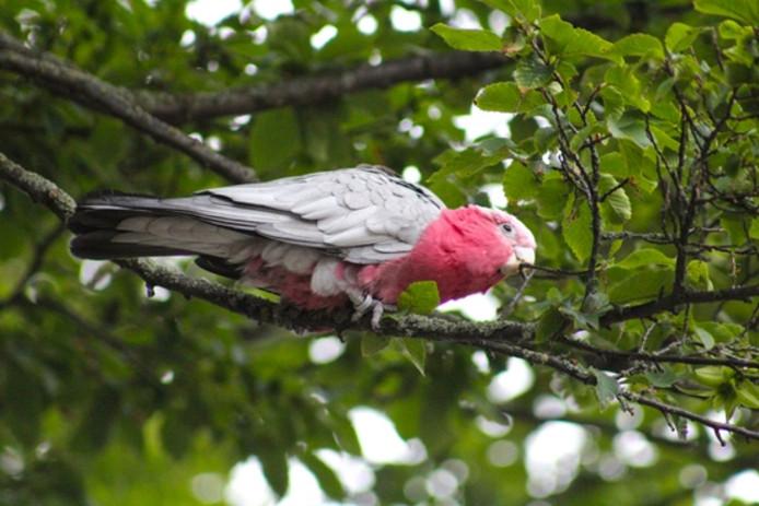 De papegaai zit in de boom.