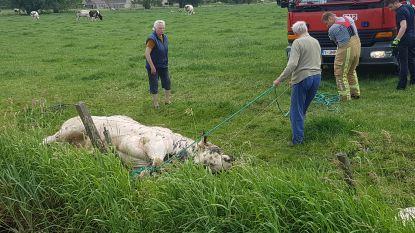 Brandweer bevrijdt stier uit hachelijke positie in prikkeldraad
