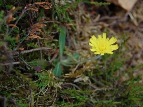 Een plantje met de naam muizenoor