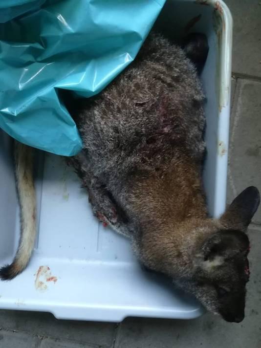 De op de N18 gevonden wallaby.