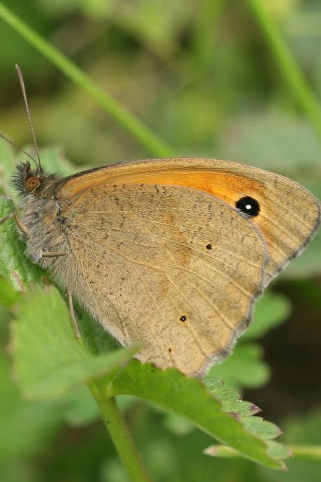 Kuinderbos is walhalla voor vlinderaars: wéér meer geteld