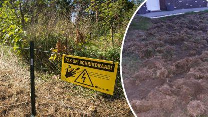 Geen stroom op pas geplaatste schrikdraad: everzwijnen slaan weer toe in Limburg