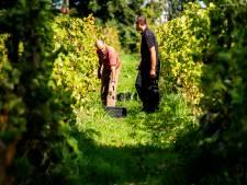 Wijnoogst De Vier Ambachten bijna verdubbeld door topzomer