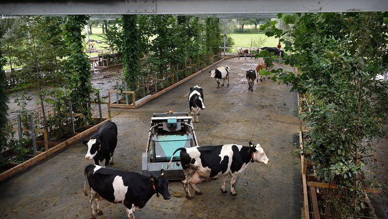 De koeientuin in Groenlo. De beesten kunnen naar buiten als ze willen. De mestrobot komt er meteen aan als een koe een vlaai op de 'weidevloer' produceert. Beeld Foto's Marcel van den Bergh / de Volkskrant