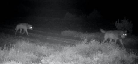Wolvin op Zuid-Veluwe heeft gezelschap: ze is samen met mannetjeswolf vastgelegd door wildcamera