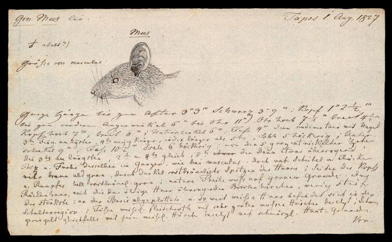 Collectie Naturalis: observaties van een muis, uit het archief van de Natuurkundige Commissie.  Beeld