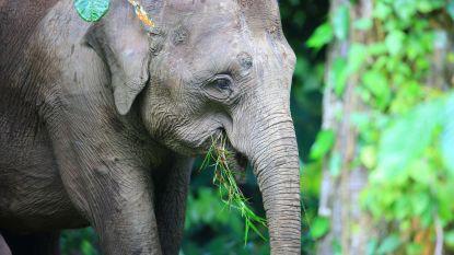 Maleisië onderzoekt mysterieuze dood dwergolifanten