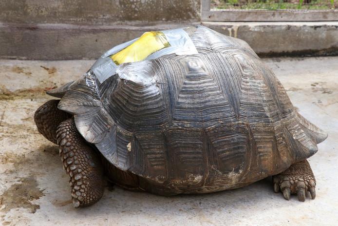 Het schild van de reuzenschildpad raakte beschadigd.