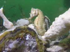 Zeepaard gespot in de Oosterschelde