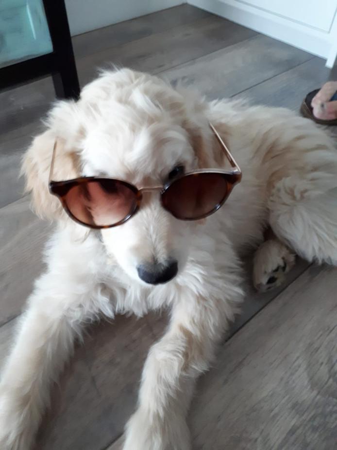 De hond van Jaap Timmerman heeft een zonnebril nodig