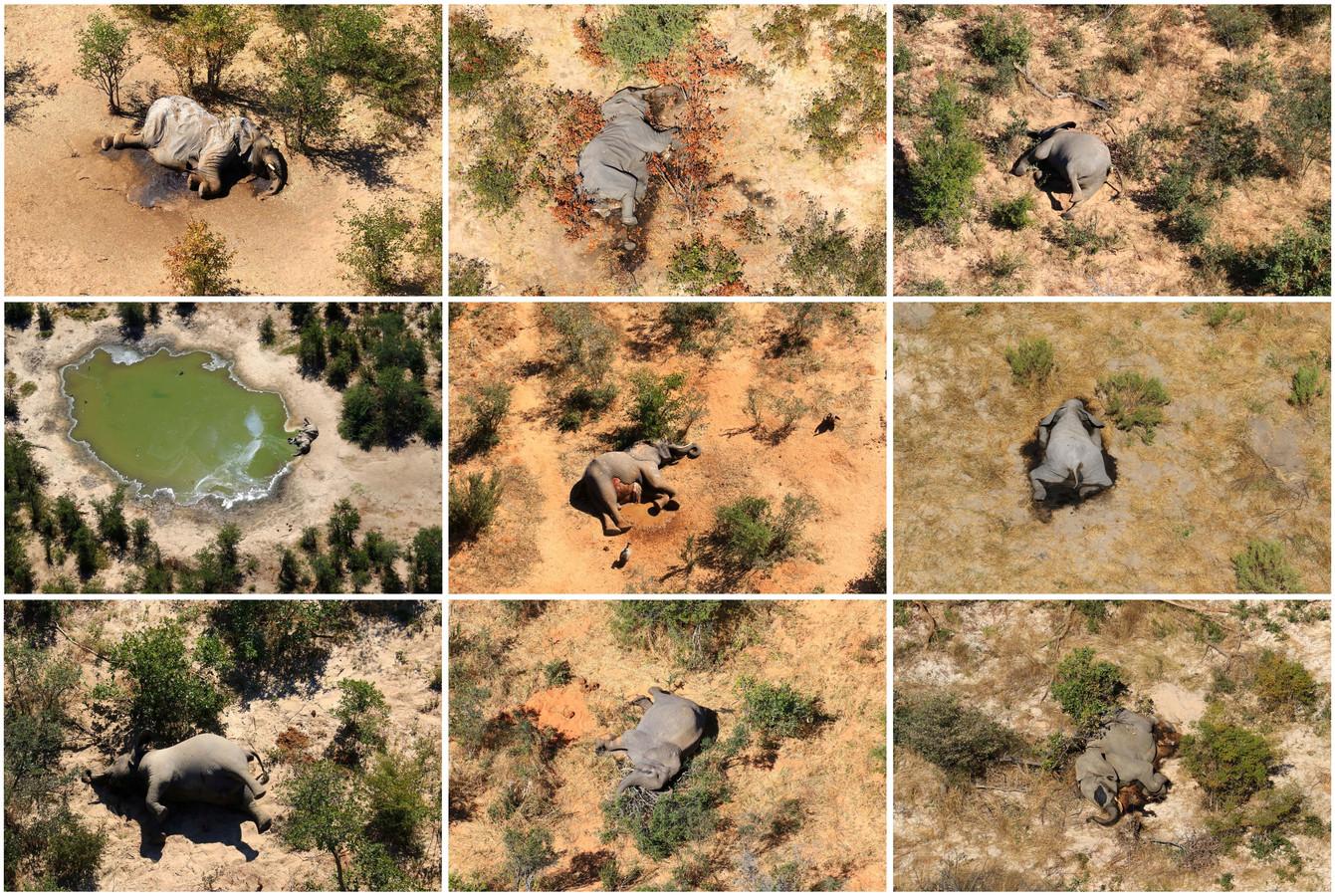Karkassen van dode olifanten nabij met blauwalg besmet water.