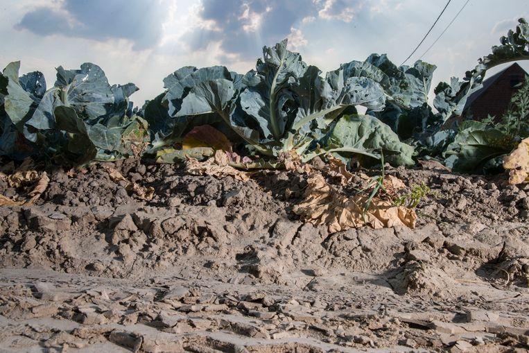 Groenten, zoals deze bloemkolen, liepen afgelopen zomer schade op door de hitte.