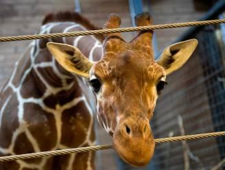 Storm van protest tegen directeur die giraf liet doden