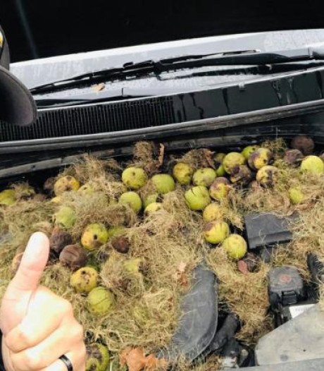 Dat is schrikken: geen pk's maar walnoten onder de motorkap