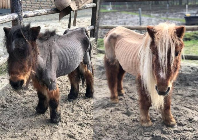 De Stichting Zinloos Geweld tegen Dieren verwijt de NVWA te laat ingrijpen tegen de verwaarlozing van onder meer deze twee pony's.