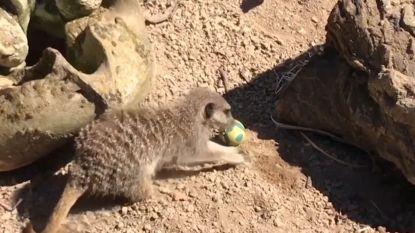 Stokstaartjes vieren Pasen in Londense zoo