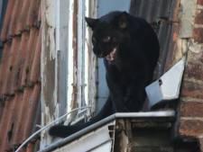 Franse gemeente opgeschrikt door panter die plots over de daken wandelt