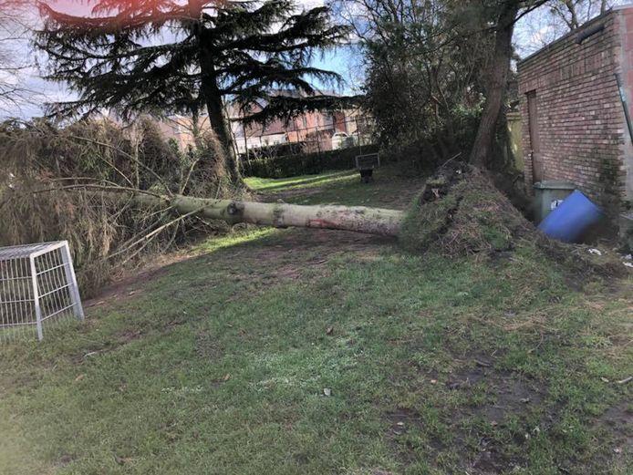 Een omgewaaide boom in Schelle.