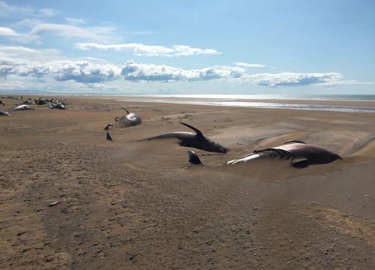 Tientallen dode grienden op een afgelegen strand in het westen van IJsland.   Beeld AP