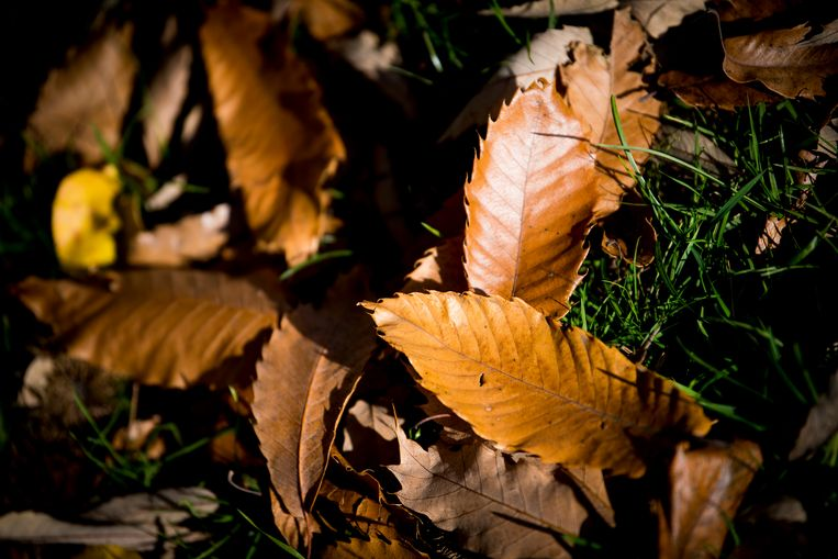 Tot 15 december kunnen Schotenaren bladafval van laanbomen gratis binnenbrengen in het recyclagepark.