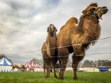 Circus Bolalou verliest geliefde kameel Angeli in Laren