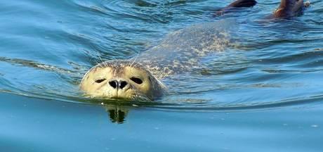 Tenminste 194 gezonde zeehonden in  de Westerschelde