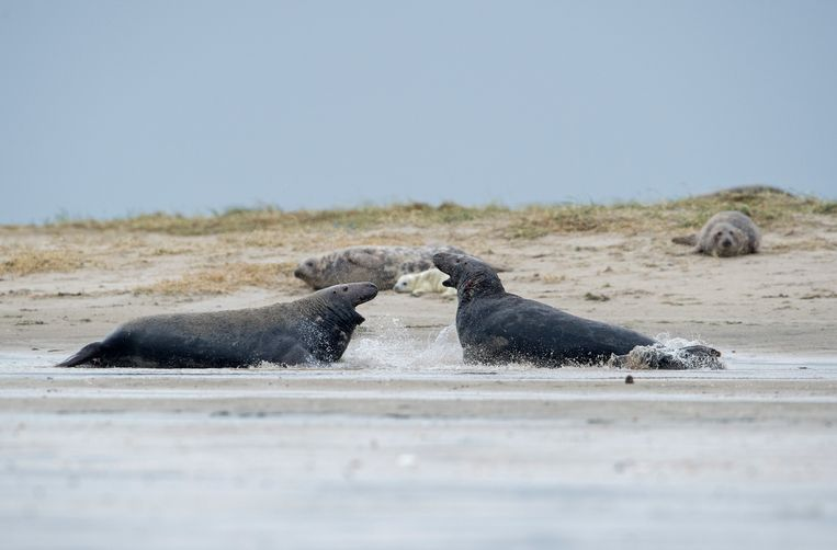 Grijze zeehonden. Beeld null