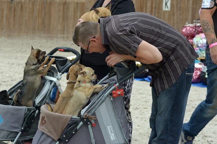 Chihuahua-keuring in Oud Gastel.