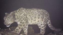 Zeldzame beelden van sneeuwluipaard in China