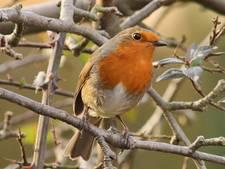 IVN gaat tuinvogels in Nijverdal tellen
