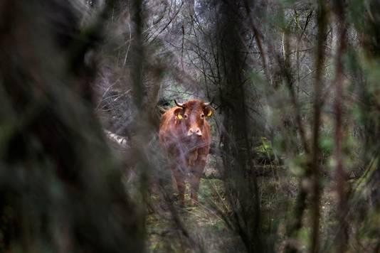 Hermien verstopt zich in het bos.