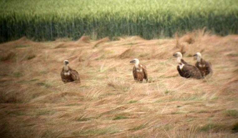 Een aantal vale gieren is maandag in een weiland in Zeeuws-Vlaanderen neergestreken. De vale gieren die maandag boven Zeeuws-Vlaanderen cirkelden, zijn teruggevlogen richting België. (ANP) Beeld