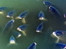 Vissen in ademnood: karpers en giebels gered uit vijver in Tubbergen
