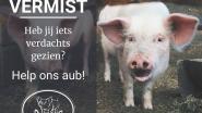 """Bijzonder opsporingsbericht voor vermist varken: """"Waarschijnlijk steekt het al in iemand zijn vriezer"""""""