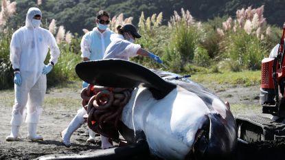 Dood van in Auckland aangespoelde orka wordt onderzocht