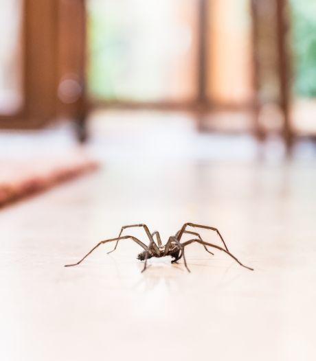 In en om je huis wonen tientallen tot honderden spinnen, zo vind je ze