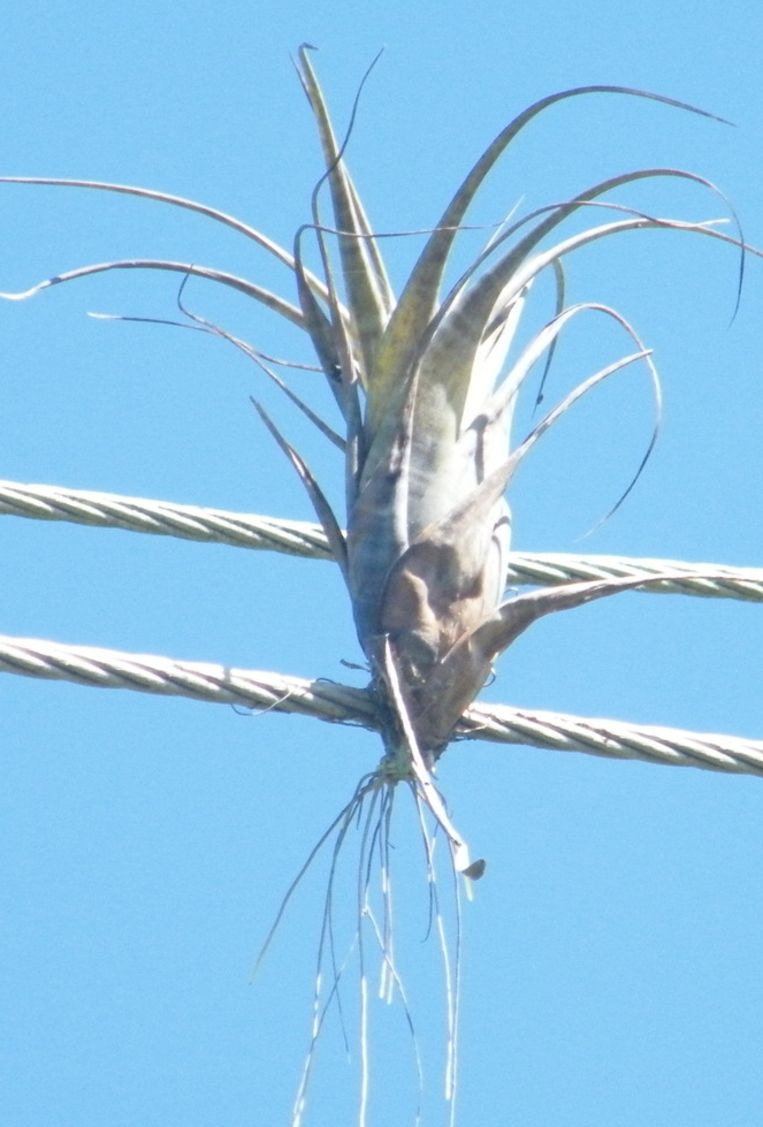 Een zaadje in vogelpoep verricht op elektriciteitskabels wonderen. Beeld Vincent Dekker