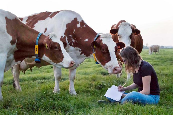 Koeien treden iedereen met kalme nieuwsgierigheid tegemoet.