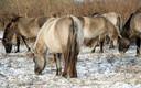 De konikpaarden werden in maart vanuit de Oostvaardersplassen naar Spanje gebracht.