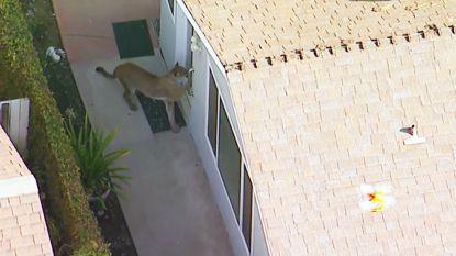 f73bdd5d5fa Wijk opgeschrikt: verdwaalde poema loopt door achtertuinen en krabt aan  huisdeuren